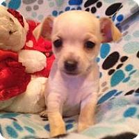 Adopt A Pet :: Baby Brittany - Marlton, NJ