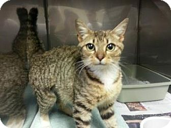 Domestic Shorthair Cat for adoption in Miami, Florida - Lyla