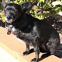 Adopt A Pet :: Dax - Gilbert, AZ