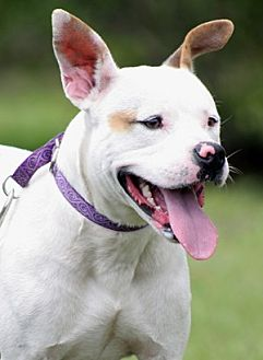 American Staffordshire Terrier Mix Dog for adoption in North Fort Myers, Florida - Runner