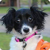 Adopt A Pet :: Sasha - in Maine - kennebunkport, ME