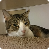 Domestic Shorthair Cat for adoption in Medford, New York - Samson