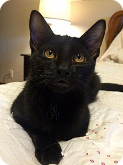 Domestic Shorthair Kitten for adoption in Edmond, Oklahoma - Vito
