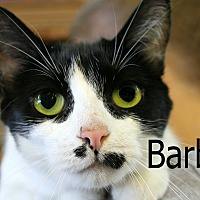 Domestic Shorthair Cat for adoption in Wichita Falls, Texas - Barbie