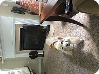 Cocker Spaniel Mix Dog for adoption in Kennesaw, Georgia - Simbah