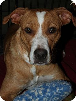 Hound (Unknown Type) Mix Puppy for adoption in Livonia, Michigan - D7 Litter-Faline-ADOPTED