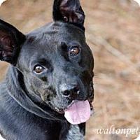 Adopt A Pet :: Blackie - Lebanon, ME