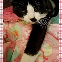 Adopt A Pet :: Boots - Anderson, IN