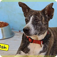 Adopt A Pet :: Ash - St. Catharines, ON