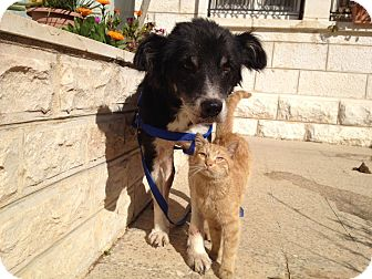 Canaan Dog Mix Dog for adoption in Ocean Ridge, Florida - Zahara