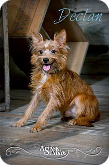 Terrier (Unknown Type, Small)/Yorkie, Yorkshire Terrier Mix Dog for adoption in Valparaiso, Indiana - Declan