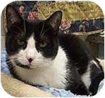 Domestic Shorthair Cat for adoption in Beacon, New York - Jessie