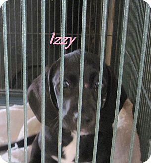 Basset Hound/Boxer Mix Puppy for adoption in Linden, Tennessee - Izzy