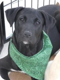 Labrador Retriever/Boxer Mix Puppy for adoption in Huntsville, Alabama - Zoe