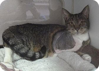 Domestic Shorthair Cat for adoption in St. Petersburg, Florida - Eileen