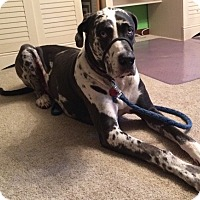 Adopt A Pet :: Blue - Springfield, IL