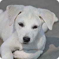 Adopt A Pet :: *Spruce - PENDING - Westport, CT
