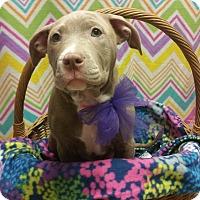 Adopt A Pet :: Juno *PENDING* - Lima, OH