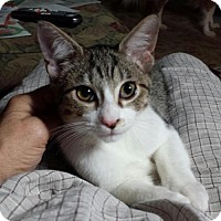 Domestic Shorthair Cat for adoption in Houston, Texas - Sydney