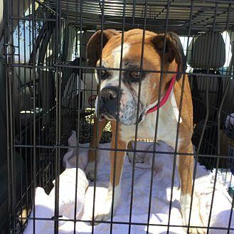 Boxer Dog for adoption in Hesperia, California - layla