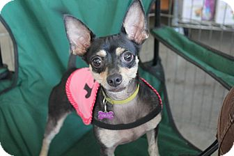 Miniature Pinscher/Chihuahua Mix Dog for adoption in Los Angeles, California - NeNe