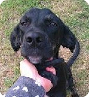 Labrador Retriever/Terrier (Unknown Type, Medium) Mix Dog for adoption in Pickering, Ontario - Hobo