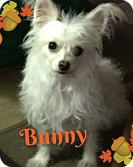 Maltese/Chihuahua Mix Dog for adoption in Walker, Louisiana - Bunny