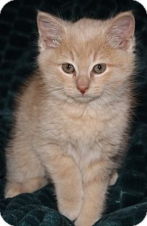 British Shorthair Kitten for adoption in Nashville, Tennessee - Teddy Bear