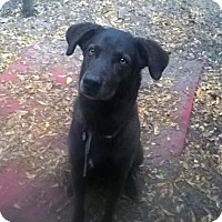 Adopt A Pet :: Sweet Lab Walker - North Creek, NY