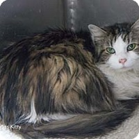 Adopt A Pet :: Miss Kitty - Merrifield, VA