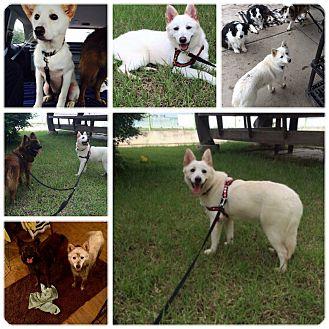 Spitz (Unknown Type, Medium)/Shepherd (Unknown Type) Mix Dog for adoption in Chilliwack, British Columbia - RooRoo