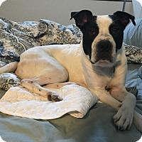 American Bulldog Mix Dog for adoption in Charlotte, North Carolina - THOREAU