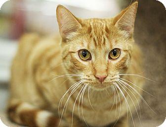Domestic Shorthair Kitten for adoption in Great Falls, Montana - Poppy