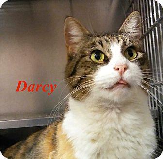 Domestic Shorthair Cat for adoption in El Cajon, California - Darcy