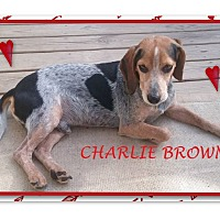 Adopt A Pet :: CHARLIE BROWN - Ventnor City, NJ