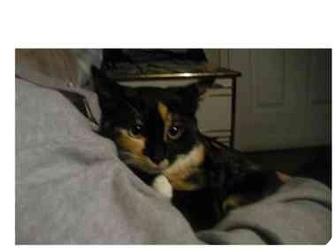 Domestic Mediumhair Kitten for adoption in Davis, California - Gypsy