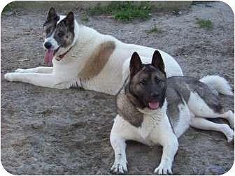 Akita Dog for adoption in Virginia Beach, Virginia - Sammy