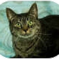 Domestic Shorthair Cat for adoption in Anchorage, Alaska - Sierra