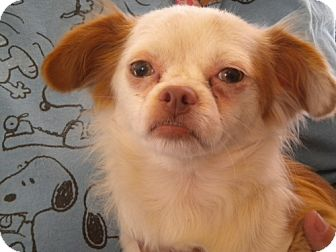 Chihuahua Mix Dog for adoption in Fresno, California - Archie