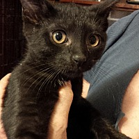 Domestic Shorthair Kitten for adoption in Seneca, South Carolina - Chamille