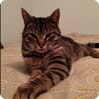 Domestic Shorthair Cat for adoption in Bryn Mawr, Pennsylvania - Leo/ great with other cats