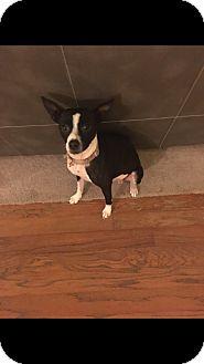 Boston Terrier/Rat Terrier Mix Dog for adoption in Colmar, Pennsylvania - Duchess