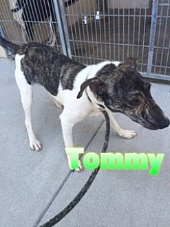 Feist Mix Dog for adoption in Barnwell, South Carolina - Tommy