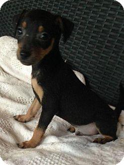 Rat Terrier Mix Puppy for adoption in Trenton, New Jersey - Samson