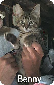 Domestic Shorthair Cat for adoption in Caro, Michigan - Benny
