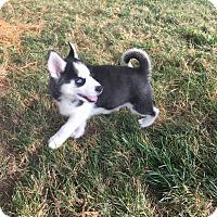Adopt A Pet :: Koda - Fairview Heights, IL