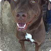 Adopt A Pet :: Kimber - Las Vegas, NV