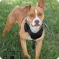 Adopt A Pet :: Spotsylvania Shelter #17-1301 Ben - Fredericksburg, VA