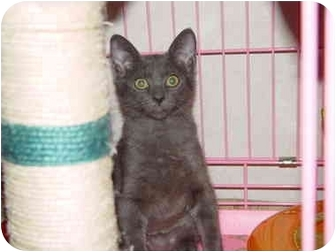 Russian Blue Cat for adoption in KANSAS, Missouri - Blue
