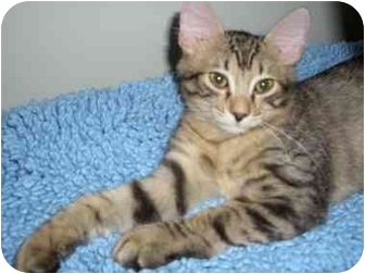 Domestic Shorthair Kitten for adoption in Boca Raton, Florida - Tiger